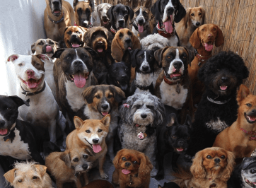 expensive dogs breeds