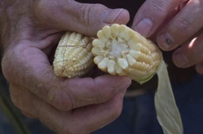 Poor Corn Harvest