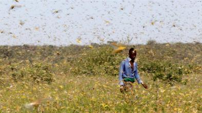 Desert locusts' destructive infestations cause significant crop damage and hunger [Njeri Mwangi/Reuters]