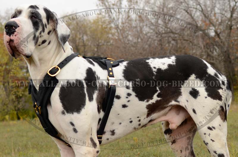Very Large Harness Dogs