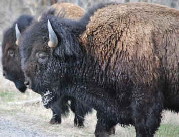 bison and cattle