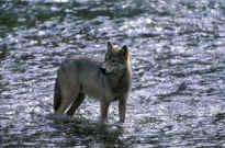 wolf wolves Jim Robertson