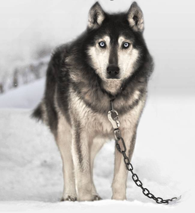 sled dogs film