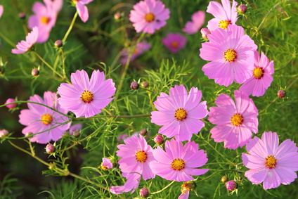 Cosmos Flowers  The Cosmos Plant  Lighting Up Your Garden With     Pink Cosmos Singles