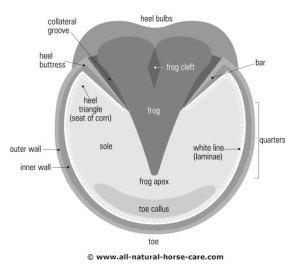Barefoot hoof diagrams