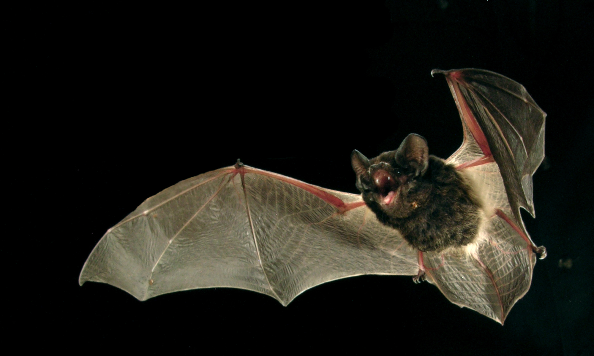 Large Eared Pied Bat