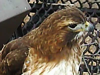 Big Red, Red-tailed Hawk Female