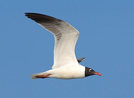 Laughing Gull Photo