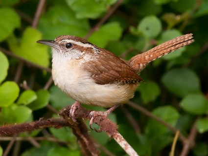 Comparing a Carolina Wren to a Wiffle Ball. Wiffle Ball Facts Image #4