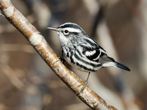 Black And White Warbler Identification All About Birds Cornell Lab Of Ornithology