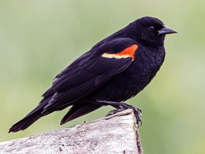 Red-winged Blackbird Breeding male (Red-winged)