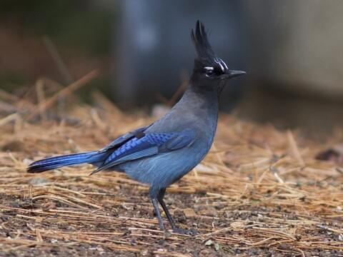 Blue Jay Life History All About Birds Cornell Lab Of Ornithology