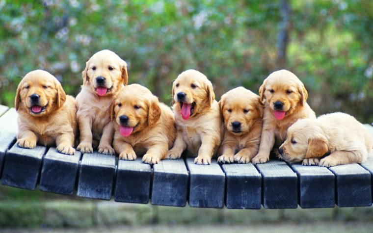 6986407-golden-retriever-puppies