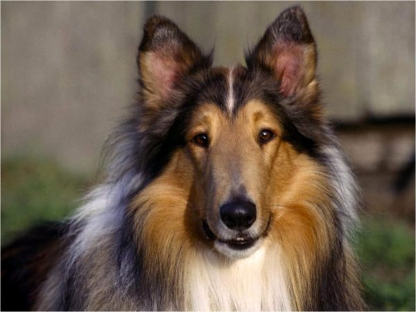 Pretty-Collie-rough-collie-10546262-1315-986