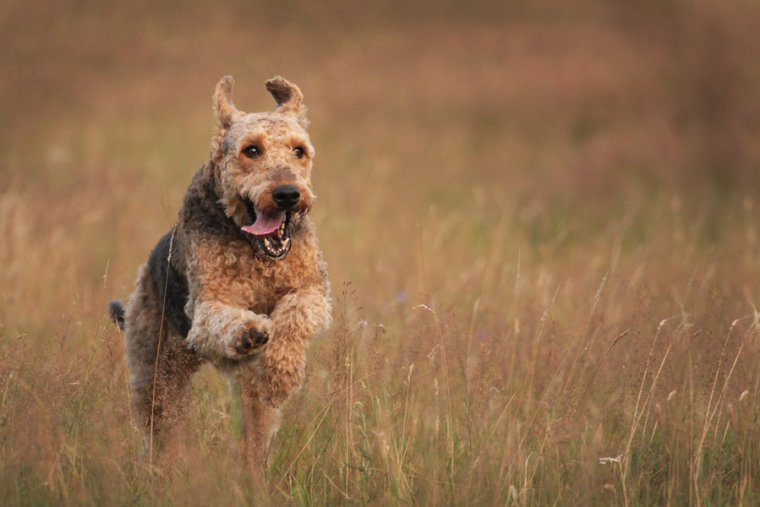 airedale_terrier_by_lovable_moments-d42xr2p