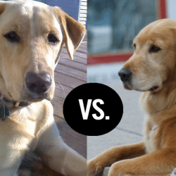 Differences between Golden Retriever and Labrador Retriever
