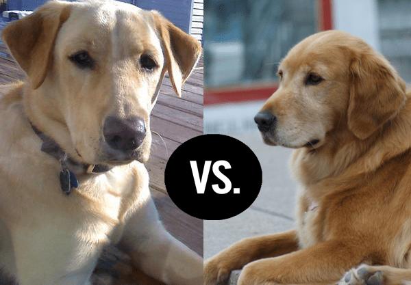 Differences between Golden Retriever and Labrador Retriever