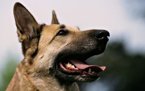 German-Shepherd-dog popular farm dogs