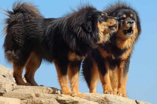 Tibetan-Mastiff-Nice-Dog
