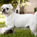 10 Dog Breeds Ideal for Apartment