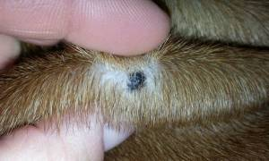 Black skin tags on dogs