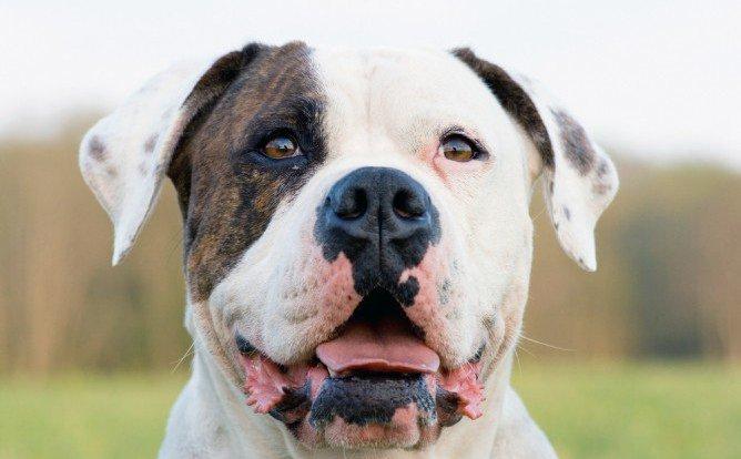 American Bulldog Dog Breed