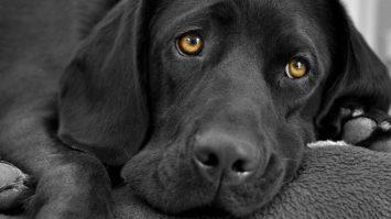 Dementia In Dogs