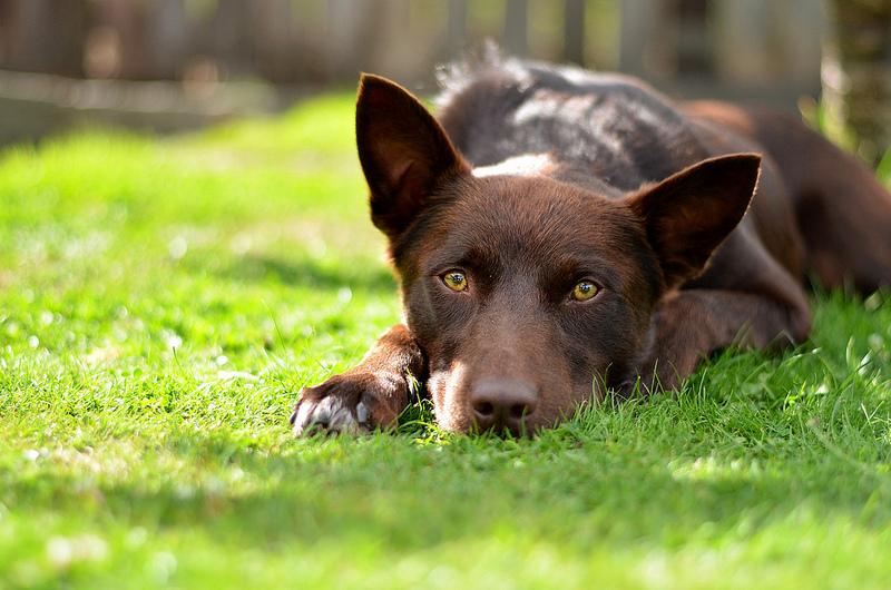 Australian Kelpie Dog Breed Information - All About Dogs