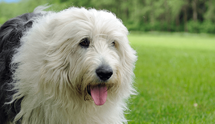 Old English Sheepdog