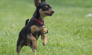 Manchester Terrier Toy