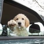 Driving with dogs