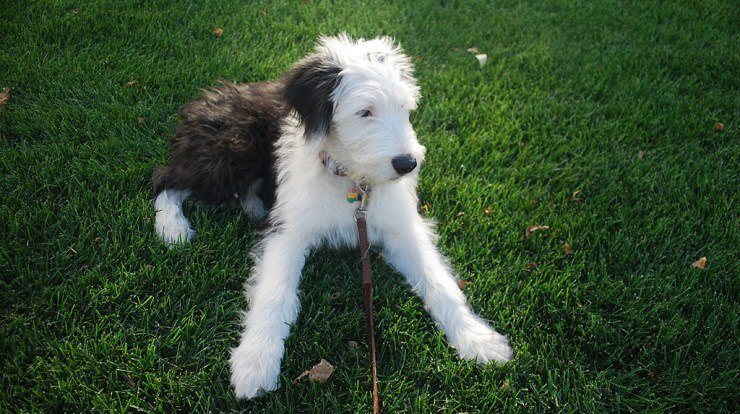 Sheepadoodle Designer Dog Information - All About Dogs