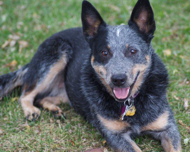 Queensland Heeler All About Dogs