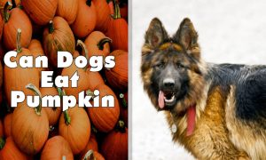 Can Dogs Eat Pumpkin