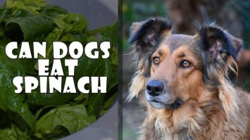 Can Dogs Eat Spinach