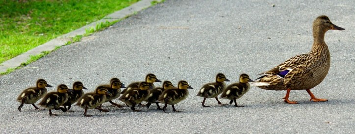 Duck & Ducklings