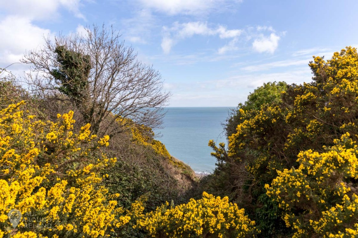 Gorse bushes on the Bray to Greystones cliff walk