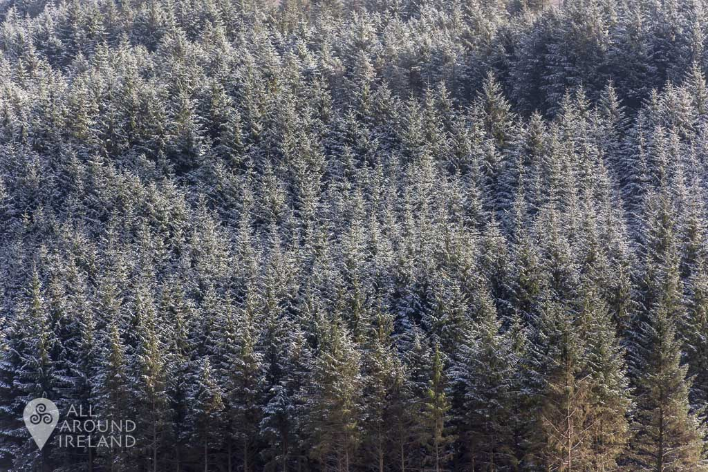 Trees coated with a sprinkling of snow on the Slieve Bloom Mountains