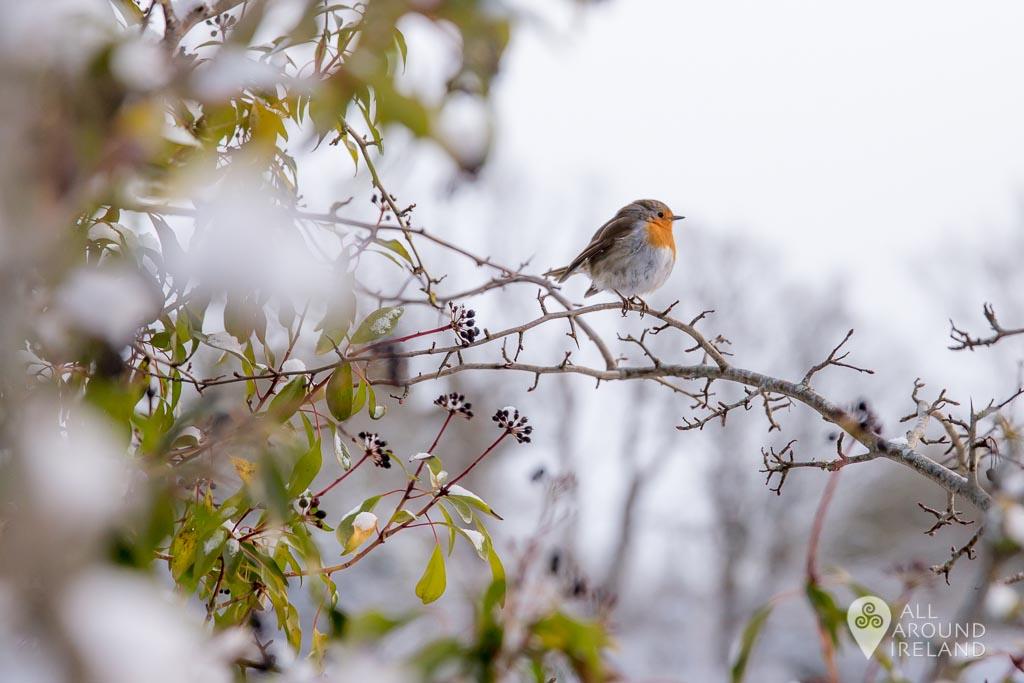 A robin resting near Portumna Marina