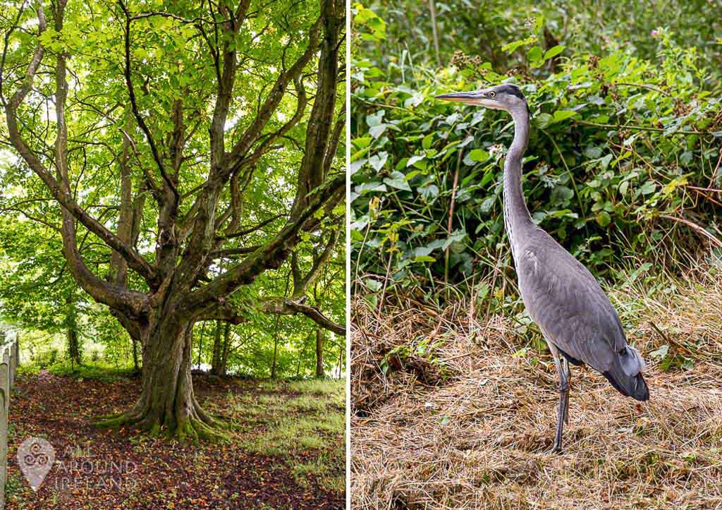 Enjoying the trees and wildlife on the 2km walkway from Cahir Castle to the Swiss Cottage