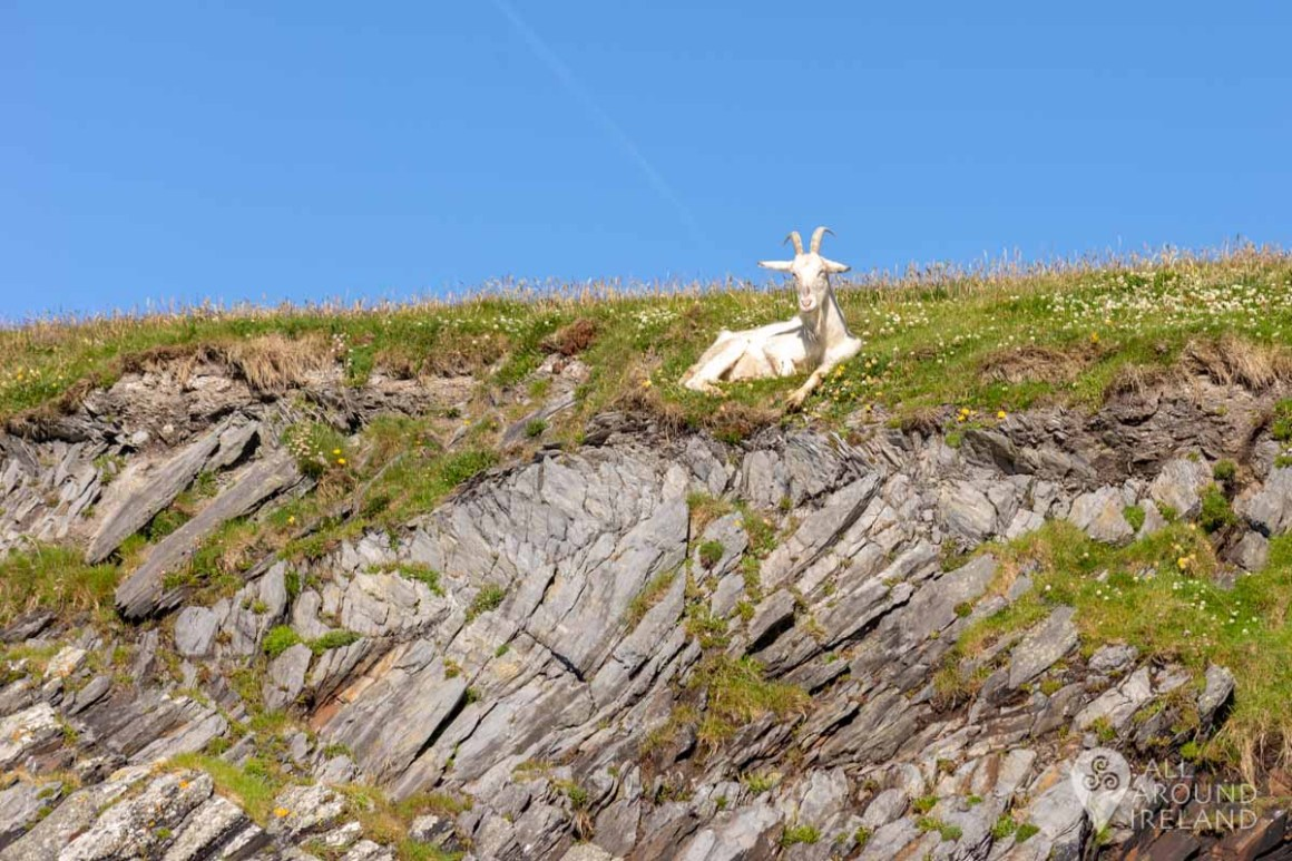 A goat watches our boat pass as we leave Portmagee harbour