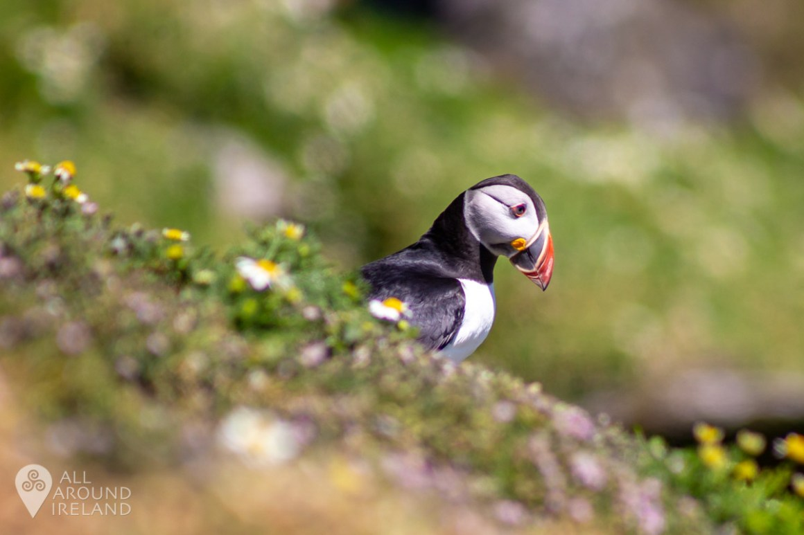 Yet another Puffin!