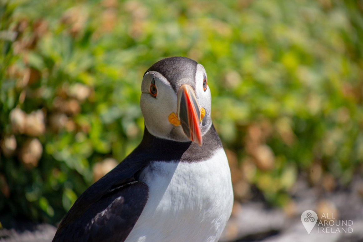 Close up Puffin shot