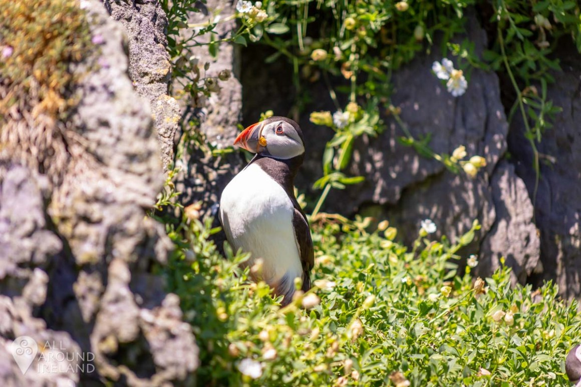 Another Puffin shot