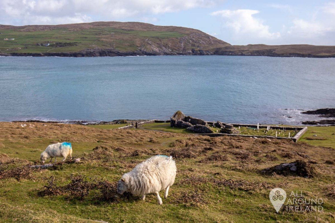 Sheep grazing in the foreground with the ruins of a church and cemetery in the background near the coast