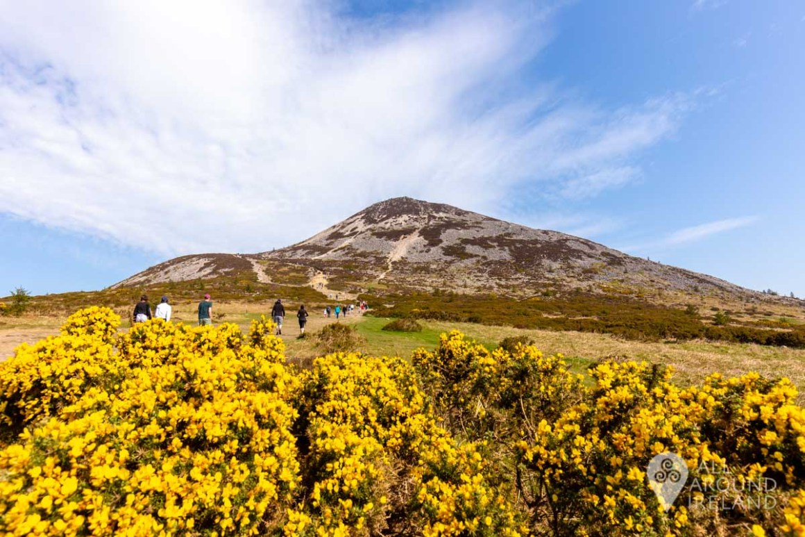 A large bush of bright yellow gorse in the foreground with the Sugar Loaf behind