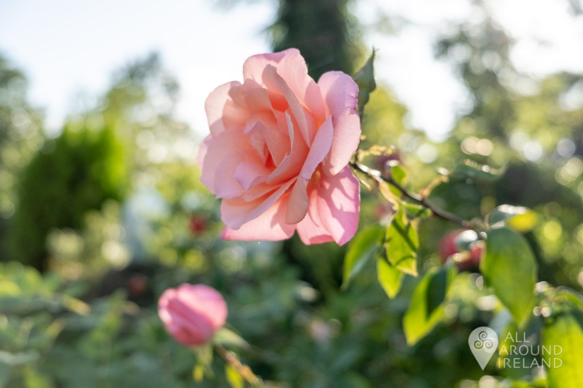 A pink rose in bloom and lit from behind by the sun, in the gardens at Huntington Castle.
