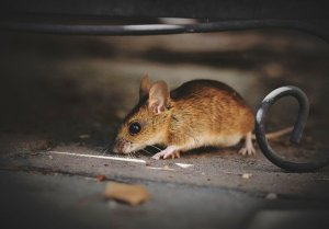 How Crawl Space Waterproofing Can Control Rodents