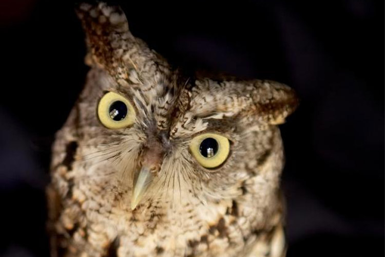 Eastern screech owl. Photo: Courtesy The National Aviary