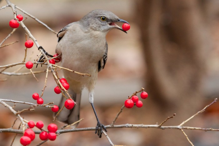 They're still a rare sight, but it's not totally atypical for northern mockingbirds to hang around Pennsylvania in the winter. Photo: Matt MacGillivray via Flickr